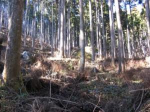 50%間伐施工地(管理された山腹)